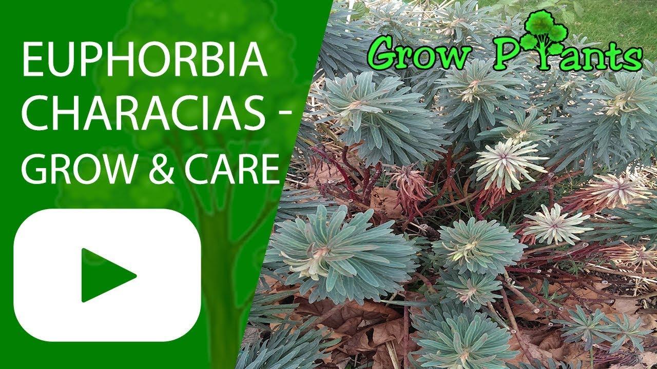 Euphorbia Characias Growing And Care