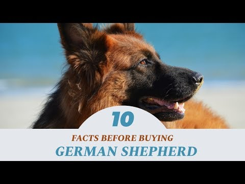 german-shepherd-dog-india:-facts-to-know-before-buying