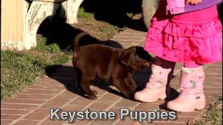Video Chocolate Lab Puppies For Sale download MP3, 3GP, MP4, WEBM, AVI, FLV Agustus 2018