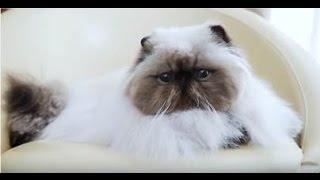Персидский кот ➠ Узнайте все о породе кошек