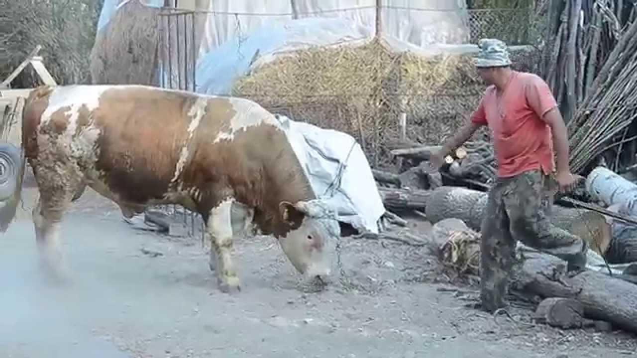Structura teniei de bovine și de porc. Structura de tenă de porc, Dimensiunea maximă a teniei taur