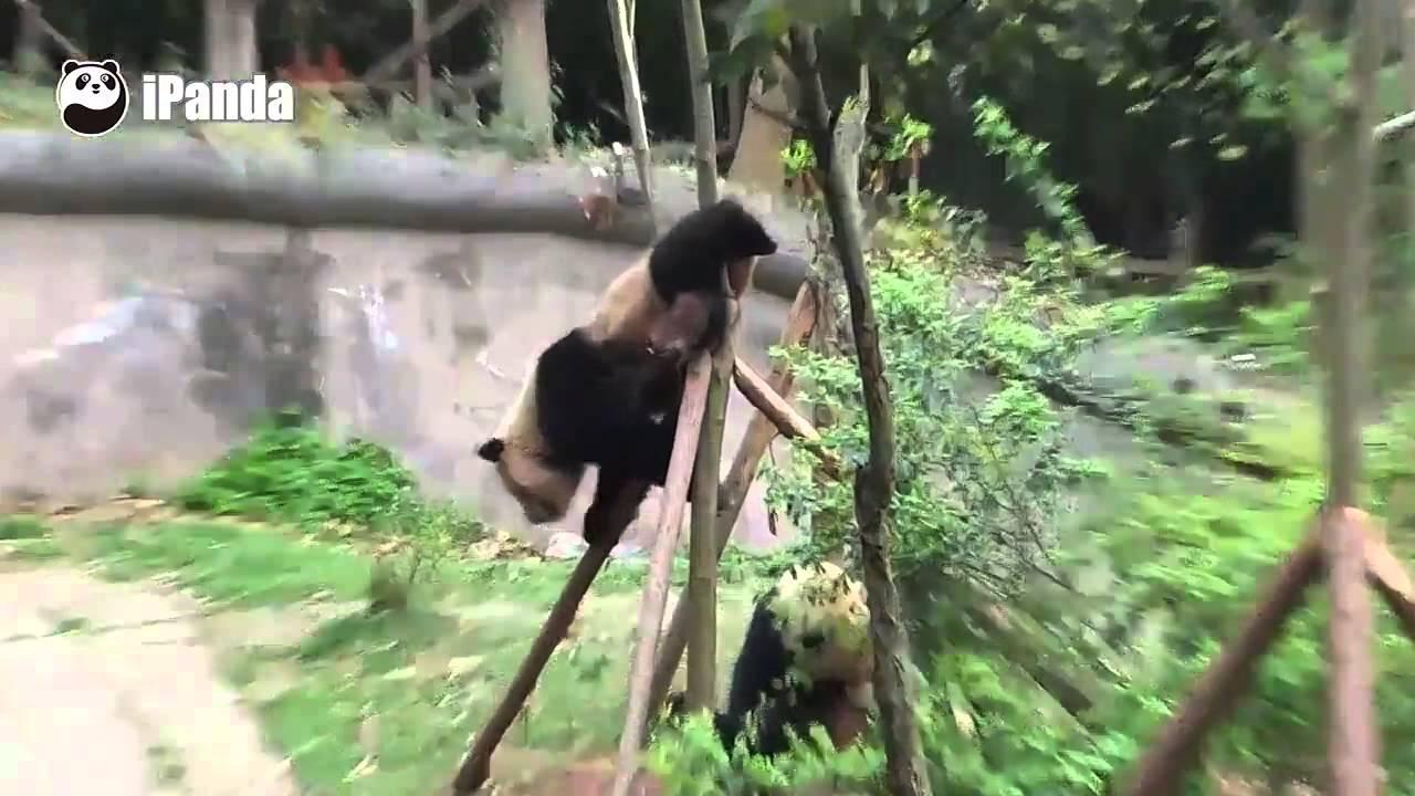 adventurous-panda-gets-stuck-up-a-tree