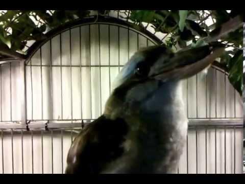 The BEST Laughing Kookaburra Bird! National Aviary Pittsburgh