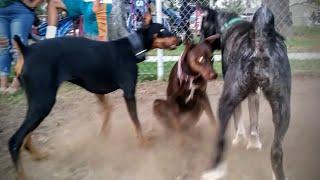 Akita's Intimidating Presence Stops Dobermans From Playing At Dog Park