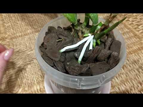 Орхидея каттлея, корни растут с бешеной скоростью