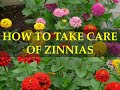 HOW TO TAKE CARE OF ZINNIAS PLANTS