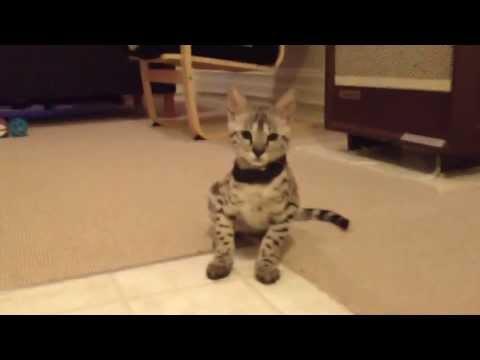 4 month old F2 Savannah kitten complaining