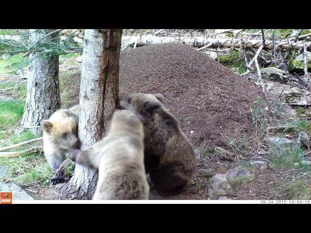 Femella i cadells d'ós