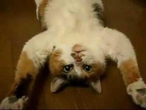 ragdoll cat for adoption