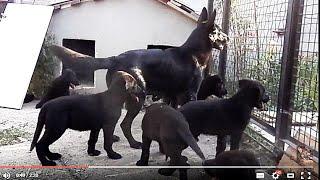 ГИГАНТСКИЕ ЧЕРНЫЕ ЩЕНКИ немецкой овчарки. Giant black German shepherd puppies. Одесса.