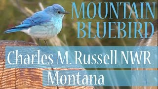 Mountain Bluebird (Sialia currucoides), Charles Russell National Wildlife Refuge, Northeast Montana