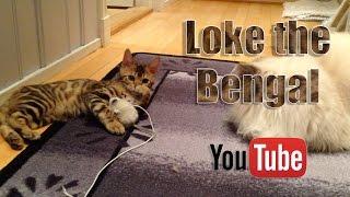 bengal kitten meets adult cat