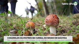 Cogumelos Silvestres no Curral do Negro - Gouveia