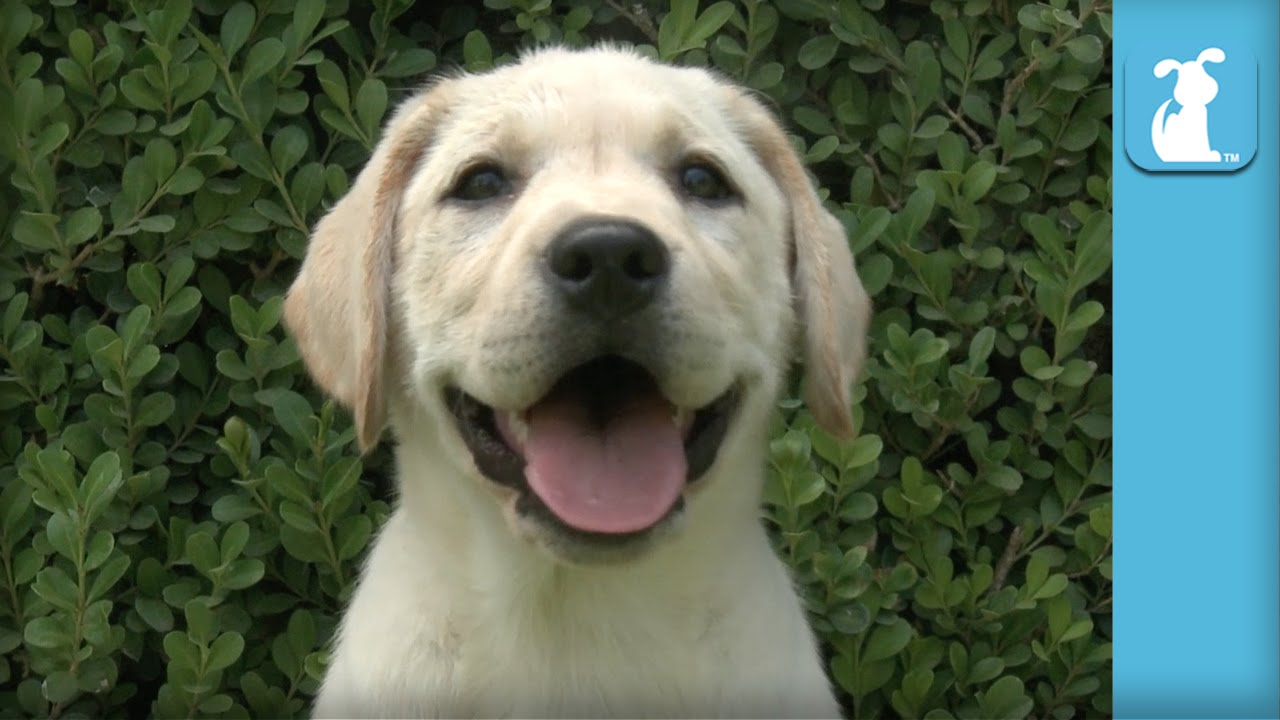 Yellow Labrador Puppies Will Put A Smile On Your Face Puppy Love