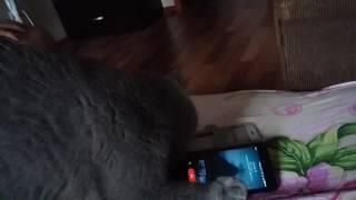 Как кошка хочет уничтожить телефон