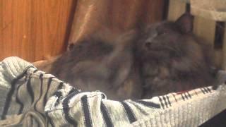 У кота чешутся уши.