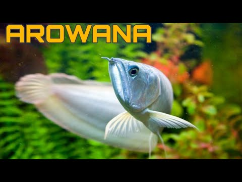 Arowana : Vastu Fishes For Homes | Lucky Chinese Fishes In Hyderabad Market | HYD Pet Entertainment