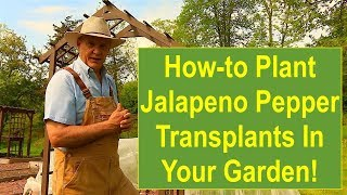 Tips and Ideas on How-to Plant Jalapeno Pepper Transplants in Your Vegetable Garden