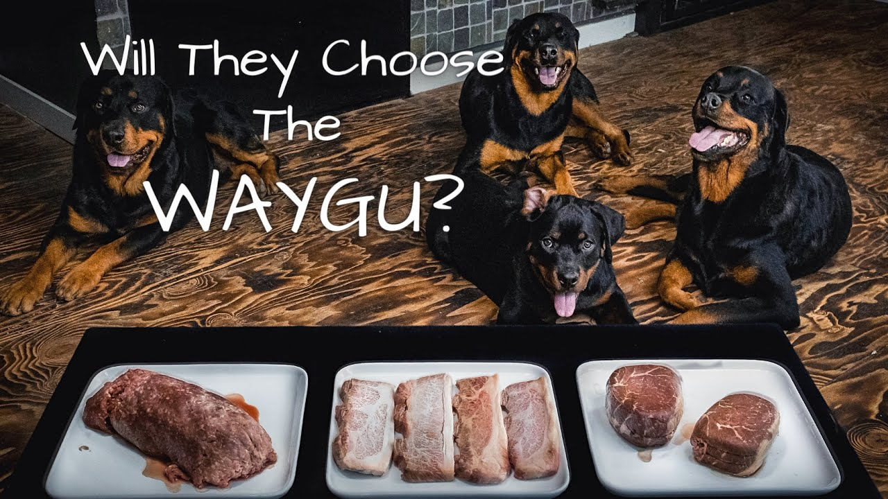 Rottweiler Dogs Eat WAYGU the Most Expensive Steak in the WORLD !