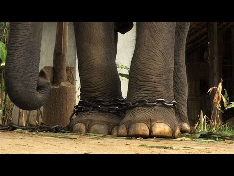 What Elephants Endure When Used as Tourist Attractions