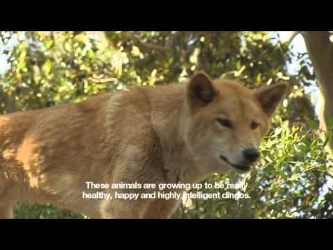 Go For A Walk With Perth Zoo's Dingos