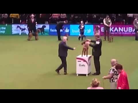 2015 Crufts - Terrier Group - Irish Terrier
