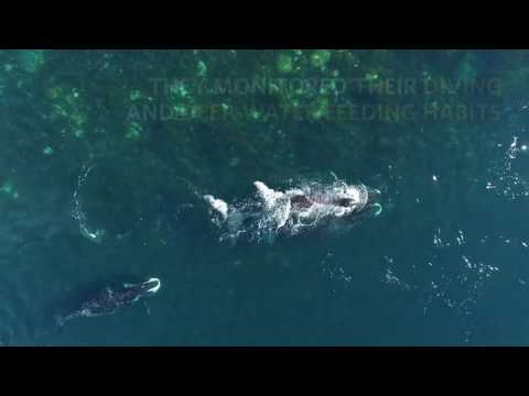 UBC researchers use drones to study Bowhead whales in the wild