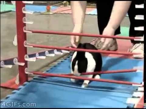 rabbit cheats at hurdles youtube