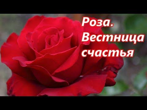 Вопрос: Красные розы знак чего?