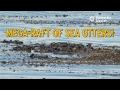 Mega-Raft of Southern Sea Otters!