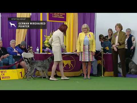 Pointers (German Wirehaired) | Breed Judging 2019