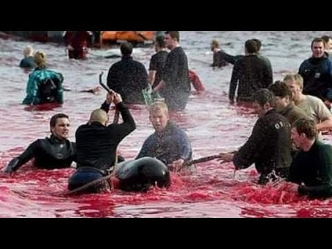 People Killed Dolphins to Celebrate their Traditions | Lessons To Preserve Marine Life