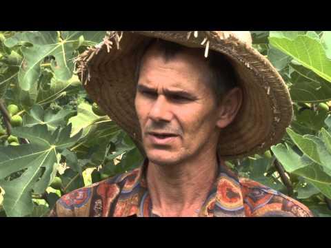 Momento Rural - Cultivo De Figos