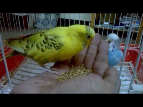 How to train your budgie (4 simple steps)