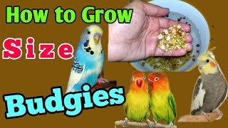 HOW TO GROW SIZE OF BUDGIES..!!