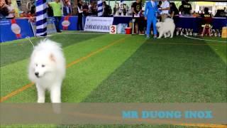 Chó Samoyed Trắng Như Bông Gòn Cưng Quá Cưng