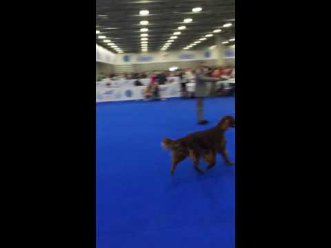 World dog show 2016. irish red setter. BOB