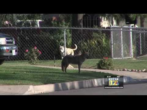 Wild Coyote Lives In Central Bakersfield Neighborhood