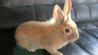 Snuffie / Pluisje Konijntje uitlaten Walking the Funny Bunny Rabbit