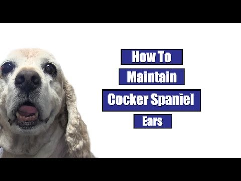 How To Maintain Cocker Spaniel Ears
