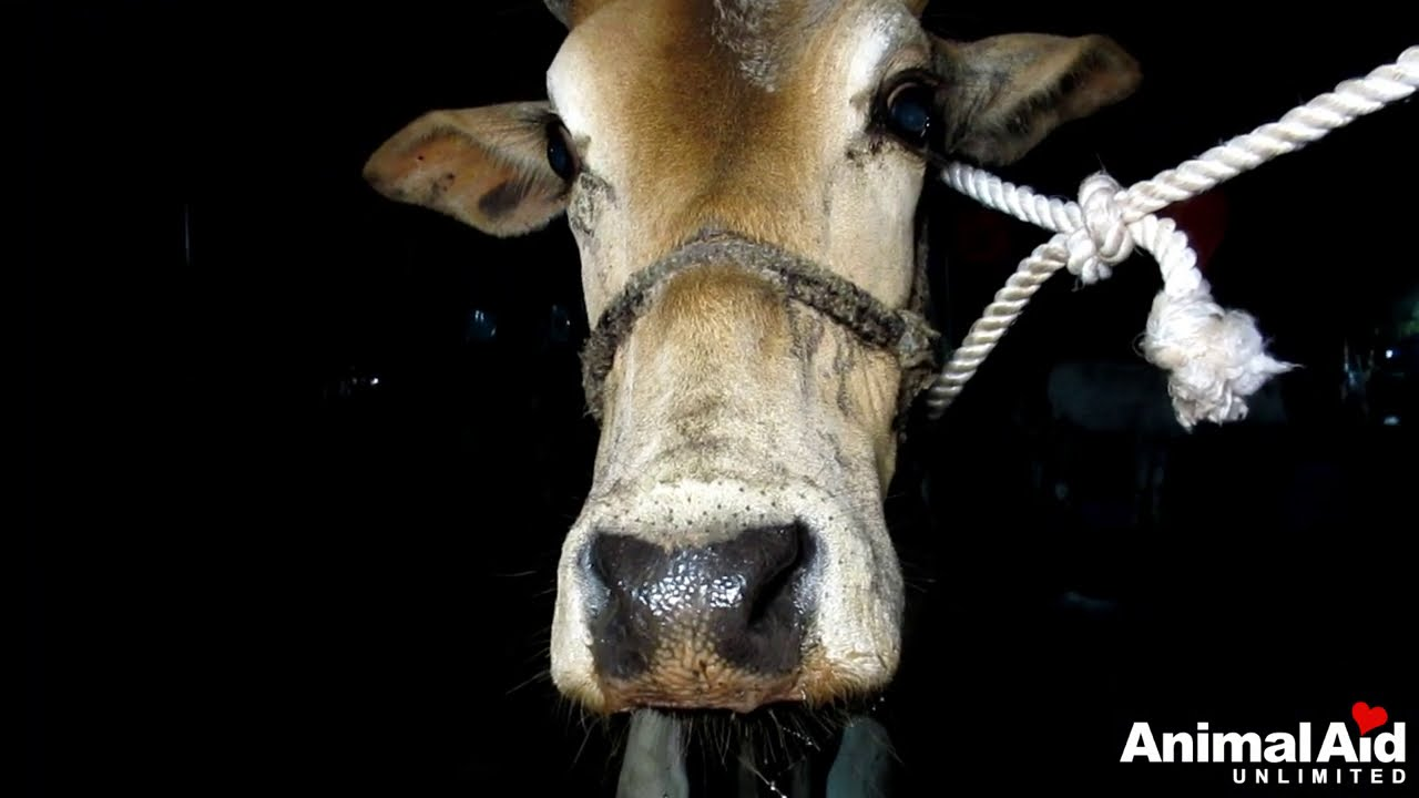 Abandoned bull's harness had cut to the bone, rescued.
