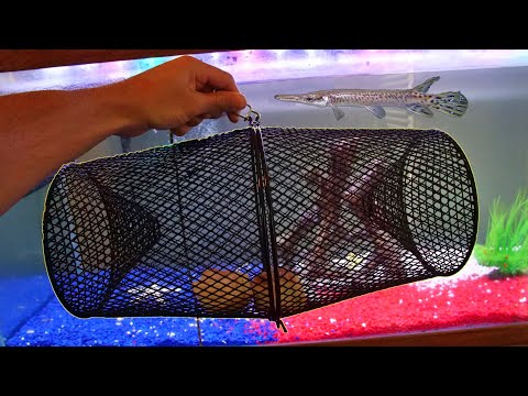 Feeding My Pet Alligator Gar Using Fish Trap!