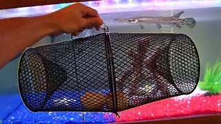 feeding-my-pet-alligator-gar-using-fish-trap