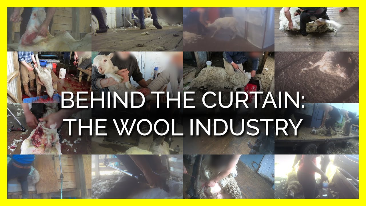 You Can't Unsee What Happens to Sheep for Wool