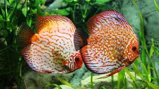 ДИСКУС . Дискусы украшение аквариума.(Дискус. Дискусы украшение аквариума Аквариумные рыбки Дискусы относятся к цихлидам. Содержат в аквариуме..., 2015-02-27T11:34:20.000Z)