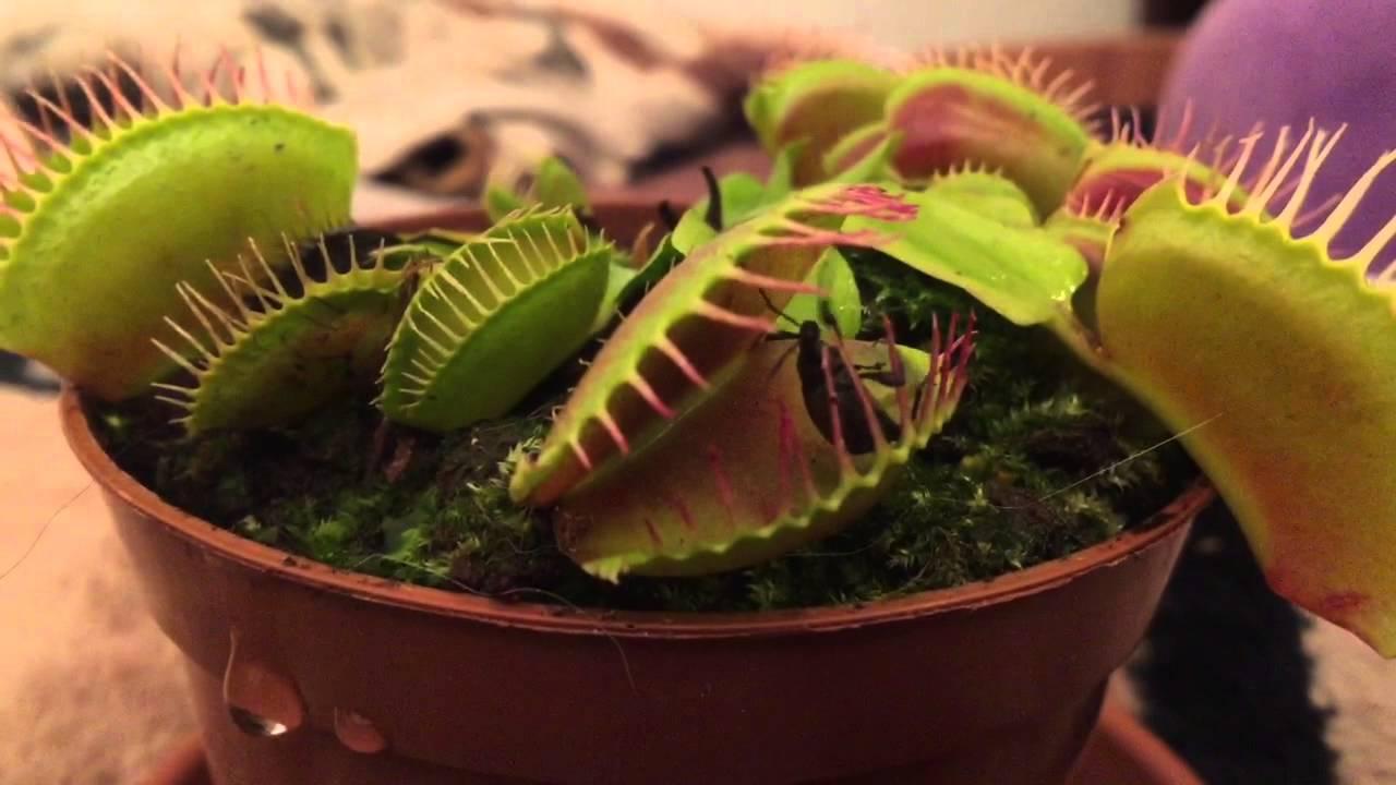 fleischfressende pflanze frisst k fer youtube. Black Bedroom Furniture Sets. Home Design Ideas