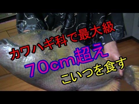 【70cmオーバー】ゴマモンガラを捌いてみた。【最大級のカワハギ】