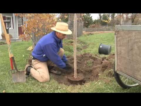 How to Plant a Tree, Step by Step (garden.org)