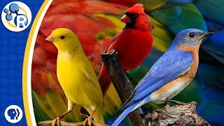 Why Are Birds Different Colors?
