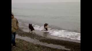 Welsh Springer Spaniel Puppy's First Swim